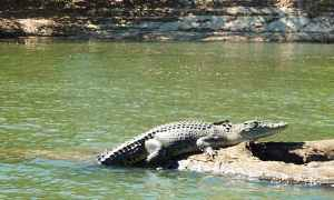 Alligator sunning self on rock