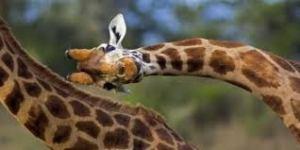 Picture of head of giraffe, flexing sideways